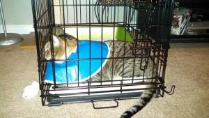 Jack in kitty jail. We got him a larger kennel.